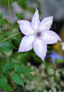 紫のバラの写真・画像素材[827940]