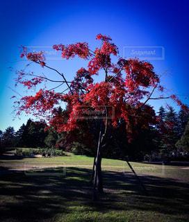 紅葉の木の写真・画像素材[863258]