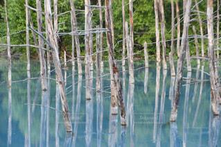 青い池の写真・画像素材[778528]