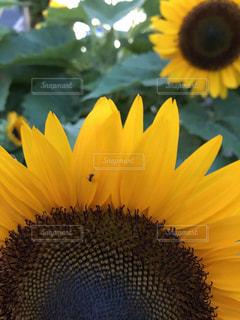 向日葵と蟻の写真・画像素材[1295645]