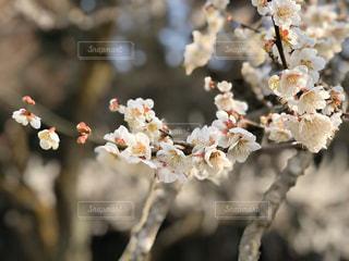 梅の木の写真・画像素材[3017478]