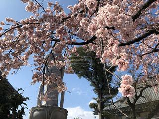 満開の桜の写真・画像素材[3034711]