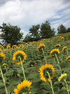 フィールド内の黄色の花の写真・画像素材[779550]