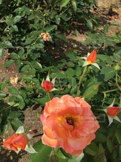 花の写真・画像素材[830721]