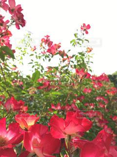 花の写真・画像素材[830722]
