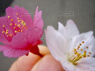 ピンクと白 - No.780097