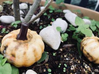 植木鉢の上のカボチャ - No.822359