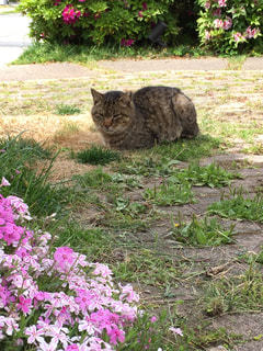 さくら草と、我が家ののら猫の写真・画像素材[793469]