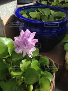 ホテイアオイの花の写真・画像素材[794052]