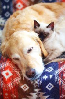 ソファーで眠る犬と猫の写真・画像素材[780718]