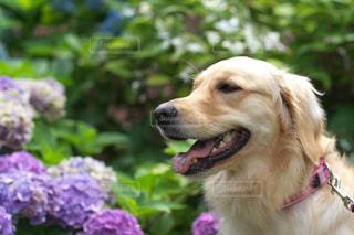 ゴールデンレトリバーと紫陽花の写真・画像素材[780772]
