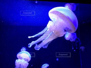 加茂水族館のクラゲの写真・画像素材[1090183]