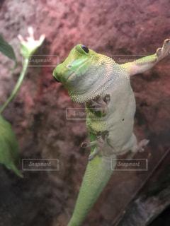 枝に緑のトカゲの写真・画像素材[781554]