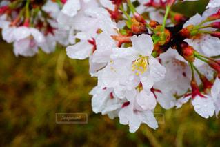 雨桜とともにの写真・画像素材[780807]