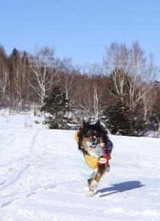 雪原を走る犬の写真・画像素材[3541076]