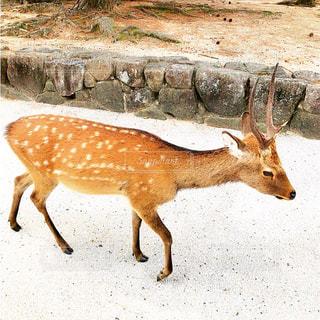 宮島の鹿の写真・画像素材[781155]