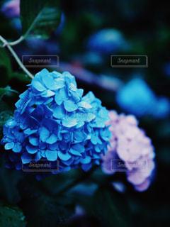 紫陽花のクローズアップの写真・画像素材[2324234]