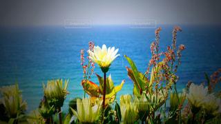 海辺の花 - No.781923