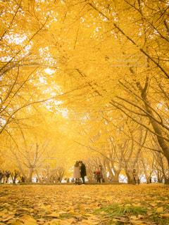 銀杏並木の写真・画像素材[908831]