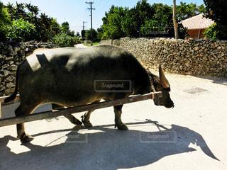 竹富島の水牛の写真・画像素材[806142]