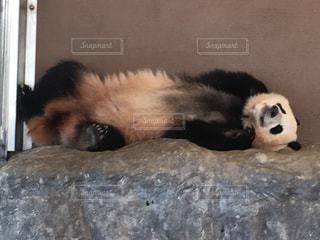 地面に横たわってパンダの写真・画像素材[783107]