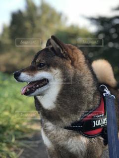 犬の笑顔の写真・画像素材[1463012]