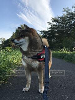 散歩中の柴犬の写真・画像素材[1463013]