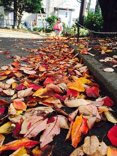 秋のお散歩の写真・画像素材[786490]