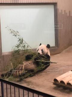パンダの写真・画像素材[843776]