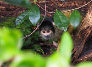 枝の上に座って猿の写真・画像素材[783297]