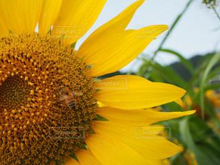 ひまわりと蜂の写真・画像素材[783301]