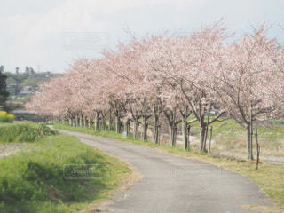 桜並木の写真・画像素材[783304]