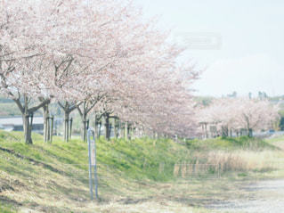 桜並木の写真・画像素材[783305]