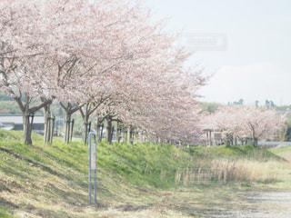 桜の木の写真・画像素材[957509]