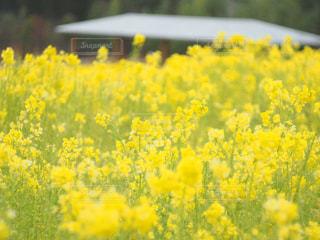 フィールド内の黄色の花の写真・画像素材[1044030]