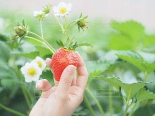 イチゴを持ってる人の写真・画像素材[1044039]