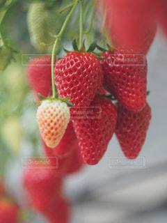 苺狩りの写真・画像素材[1175086]