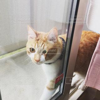 網戸に挟まっている猫の写真・画像素材[783511]