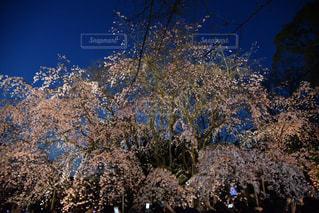 桜の写真・画像素材[785644]