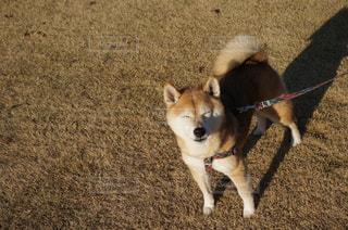 柴犬の写真・画像素材[930004]