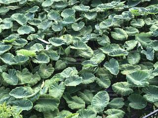 里芋の葉っぱの写真・画像素材[784127]