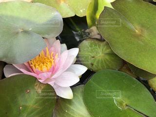 蓮の花の写真・画像素材[1156684]