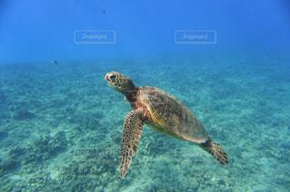 水の下で泳ぐカメの写真・画像素材[3025635]