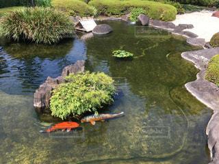 お庭にある池で泳ぐ鯉の写真・画像素材[784279]