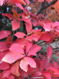 わたしはこの植物の名前を知らない。けど、赤がとても素敵なので撮った。の写真・画像素材[895269]