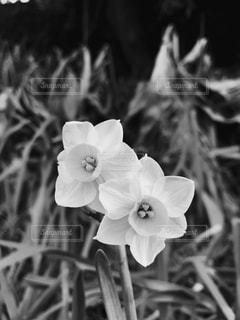 水仙の写真・画像素材[977669]