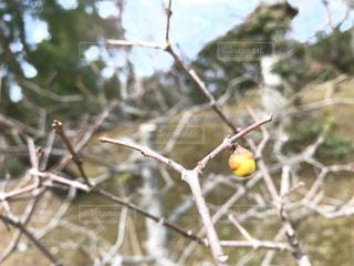 梅の蕾の写真・画像素材[979237]