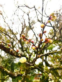 梅の蕾の写真・画像素材[979238]