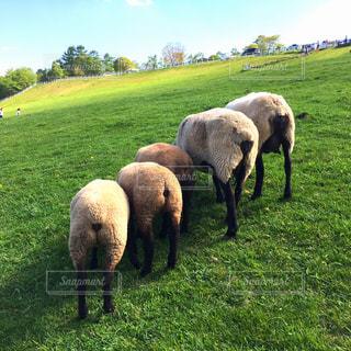緑豊かな草原で放牧している羊の群れ 尻の写真・画像素材[786115]