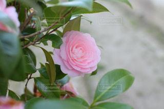 緑の葉とピンクの花の写真・画像素材[1115760]